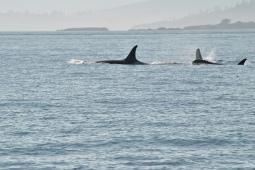 1408b-san-juan-orcas-island-whale-watching-pods