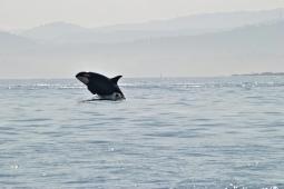 e17b3-san-juan-orcas-island-whale-watching-breaching